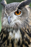 Eagle Owl watching Stock Photos
