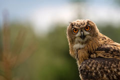 Eagle-owl in the wild, a portrait Stock Photo