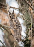 Eagle-owl. In winter hide Stock Image