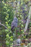 Eagle owl in the woods Royalty Free Stock Photography