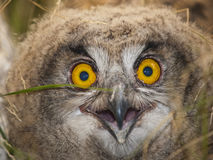 Eagle Owl. This young owls liked walking around the nest, you remove the grass from his face so that we can make this portrait Royalty Free Stock Images