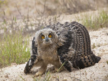Eagle Owl. A young eagle owl, unable to make long flights, is set in an attitude of defense against my proximity, inflates its body to pretend that is larger Stock Image