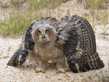 Eagle Owl. A young eagle owl, unable to make long flights, is set in an attitude of defense against my proximity, inflates its body to pretend that is larger Stock Photos