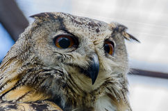An eagle-owl. In the zoo in Kaluga region Royalty Free Stock Image