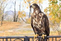 Eagle på ett bildande djurliv parkerar Arkivbilder