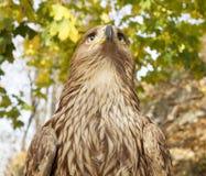 Eagle på ett bildande djurliv parkerar Arkivfoto