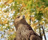 Eagle på ett bildande djurliv parkerar Royaltyfri Fotografi
