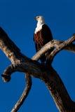 Eagle på träd i Chobe NP - Botswana Arkivfoton