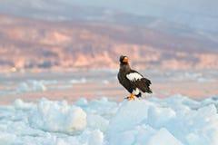 Eagle på is Vinter Japan med snö Plats för djurlivhandlinguppförande från naturen Djurliv Japan Örn för hav för Steller ` s, Hali Arkivbilder
