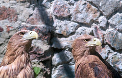 Eagle-Paare Stockbild