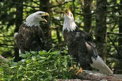 Eagle Pair 3. A pair of eagles perched and squawking Stock Photo