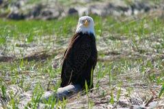Eagle patrzeć Zdjęcie Royalty Free