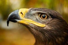 Eagle patrzeje niebo Zdjęcie Stock