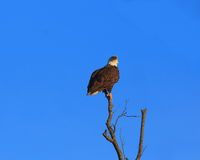 Eagle on a perch Royalty Free Stock Photo