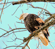 Eagle perched bald Stock Images