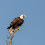 Eagle Perched Stock Image