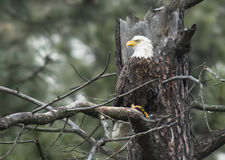 Eagle perched on branch. Royalty Free Stock Images