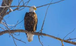 Eagle Perched calvo hermoso en una rama con un cielo claro imagenes de archivo