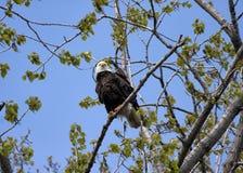 Eagle Perched em uma árvore Fotos de Stock