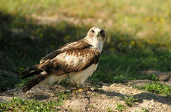 Eagle perched on grass road in the field Royalty Free Stock Image