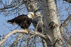 Eagle Perched High chauve dans l'arbre d'hiver photo libre de droits