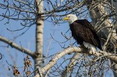 Eagle Perched High chauve dans l'arbre d'hiver photographie stock libre de droits