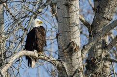 Eagle Perched High chauve dans l'arbre d'hiver photo stock