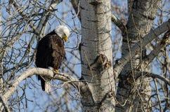 Eagle Perched High chauve dans l'arbre d'hiver photographie stock