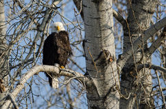 Eagle Perched High chauve dans l'arbre d'hiver images libres de droits