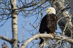 Eagle Perched High chauve dans l'arbre d'hiver image libre de droits