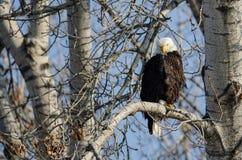 Eagle Perched High chauve dans l'arbre d'hiver photos stock
