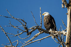 Eagle Perched High chauve dans l'arbre d'hiver photos libres de droits