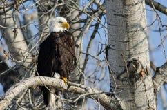 Eagle Perched High chauve dans l'arbre d'hiver image stock