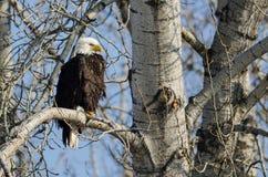 Eagle Perched High chauve dans le dessus d'arbre d'hiver image stock