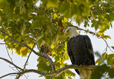 Eagle perched by lake watching for fish Royalty Free Stock Photo