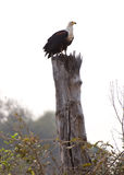 Eagle perched on tree Stock Images