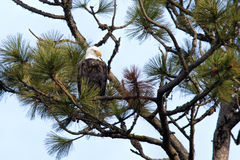 Eagle perched in tree. Royalty Free Stock Photos
