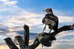 Eagle Perched on Tree Branch Royalty Free Stock Photography
