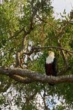 Eagle Perched In A Tree Stock Photo