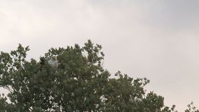 Eagle perched in a treetop stock footage