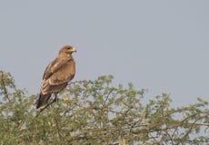 Eagle Perching manchado indio en tres espinosos fotos de archivo libres de regalías