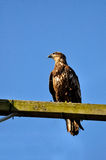 Eagle perching on a power pole Stock Images