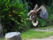 Eagle performing a landing Royalty Free Stock Images