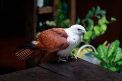 Eagle, Philippines Royalty Free Stock Image