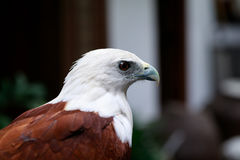Eagle, Philippines Stock Photography