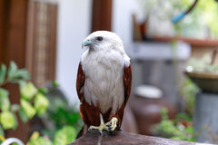 Eagle, Philippines Royalty Free Stock Photos