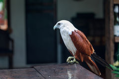 Eagle, Philippines Royalty Free Stock Photography