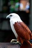 Eagle, Philippines Royalty Free Stock Photo