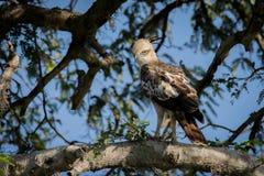 Eagle. Photoes taken in Kumana National Park, Sri Lanka Stock Image