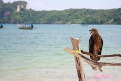Eagle. At PiPi Islands, Krabi Thailand Royalty Free Stock Image